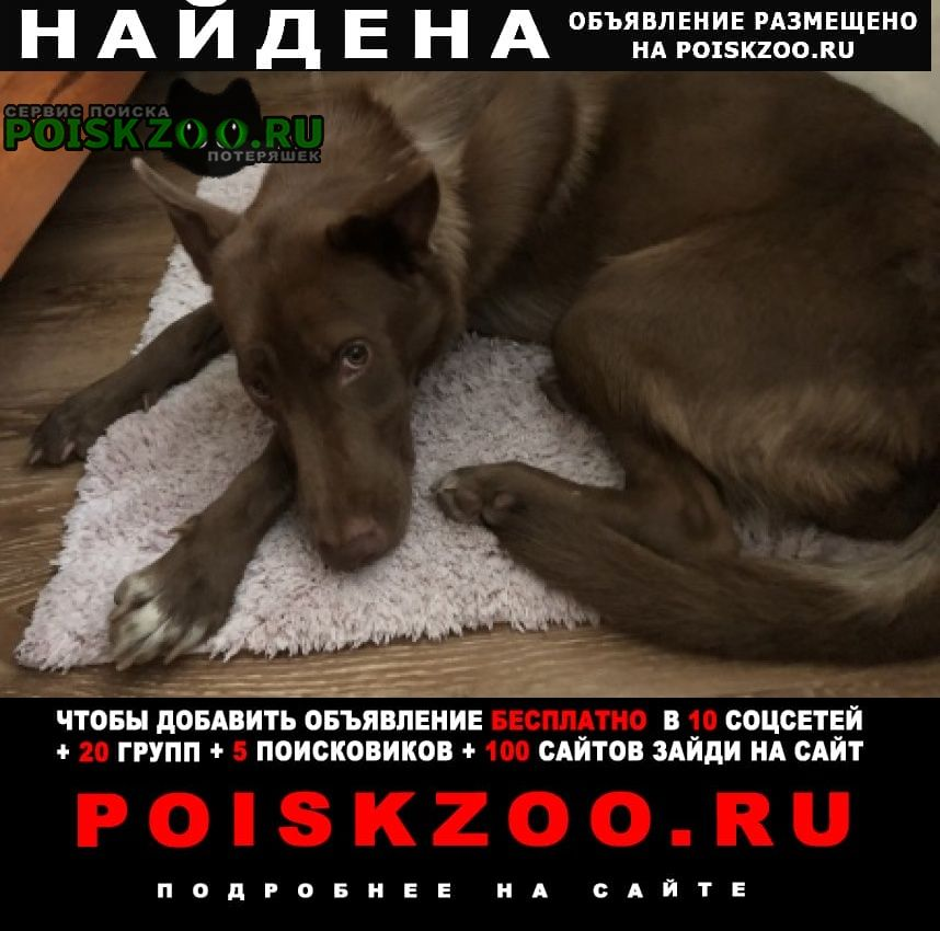 Найдена собака девочка шоколадного цвета Москва