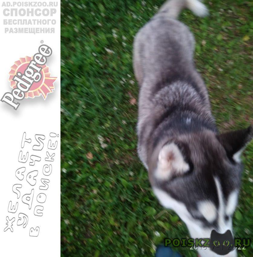 Найдена собака хаски г.Москва