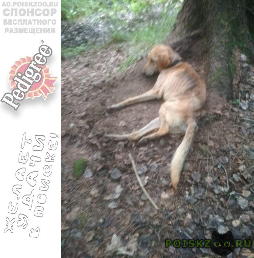 Найдена собака кобель в лесу. рузский район г.Руза