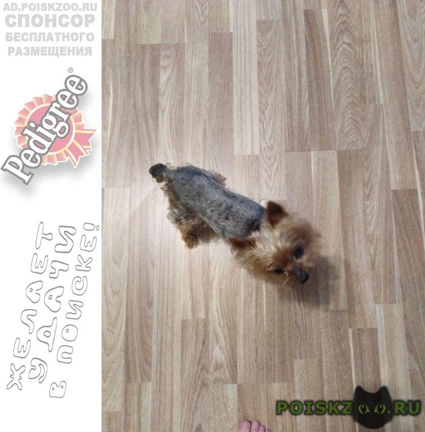 Найдена собака йорк. г.Красногорск