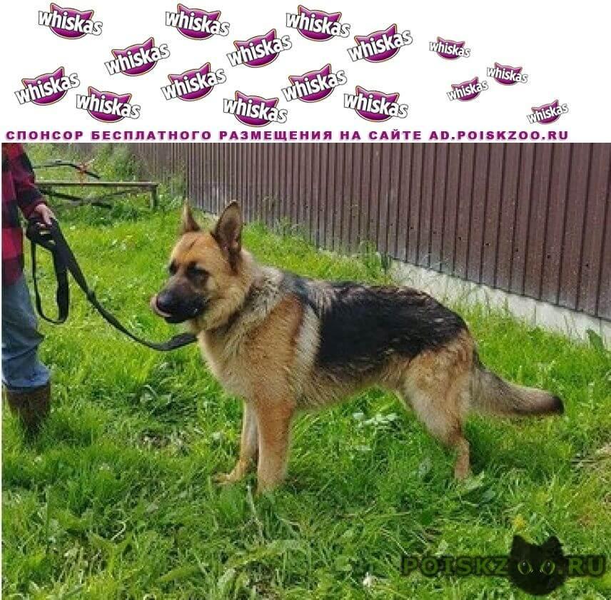 Найдена собака кобель немецкой овчарки г.Видное