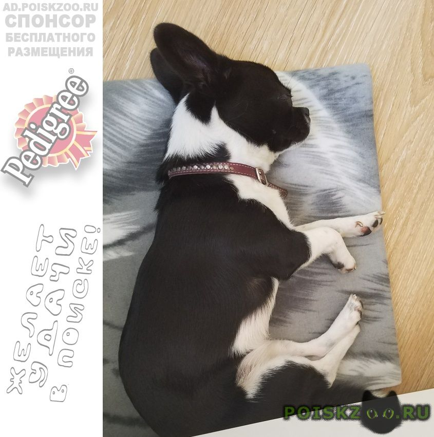 Найдена собака рядом с усадьбой остафьево г.Внуково