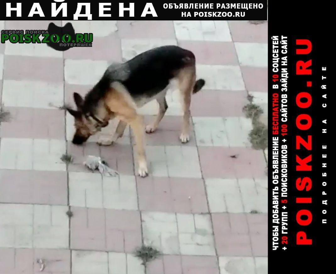 Александров Найдена собака овчарка сука