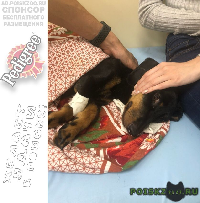 Найдена собака кобель такса, мальчик, около 2 лет г.Хабаровск