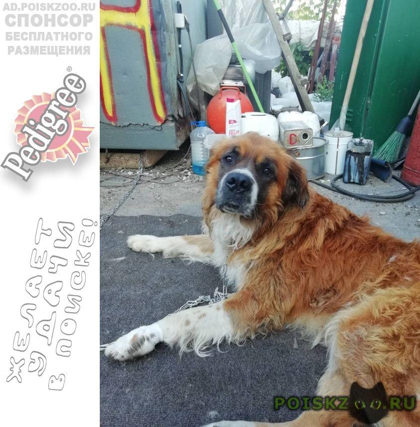 Найдена собака кобель московская сторожевая г.Новокуйбышевск