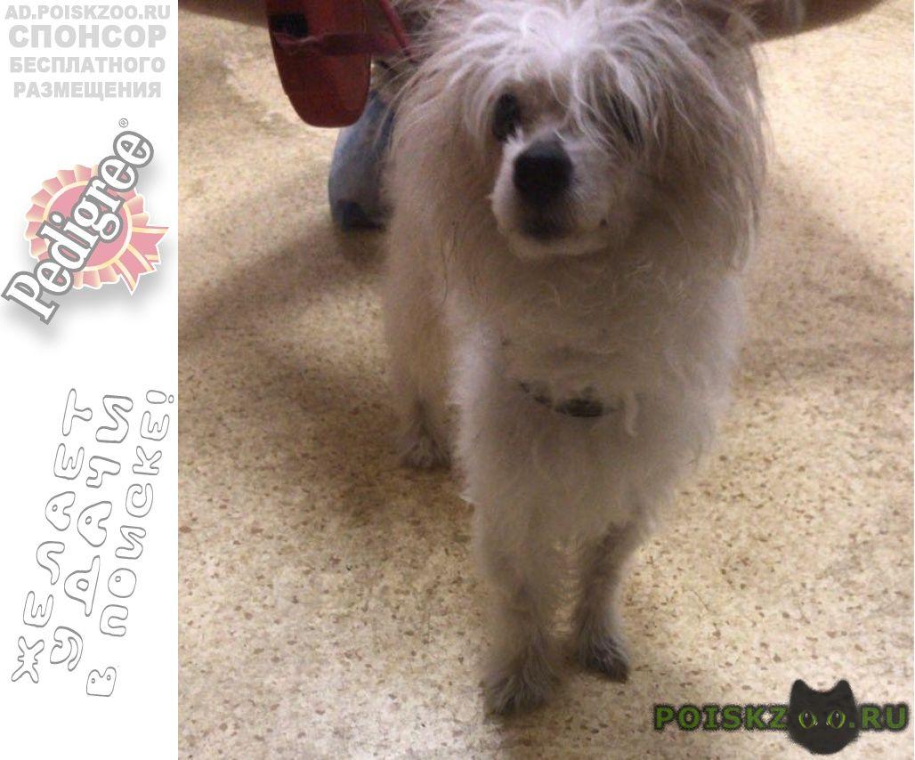 Найдена собака китайская хохлатая пуховка, сука г.Москва