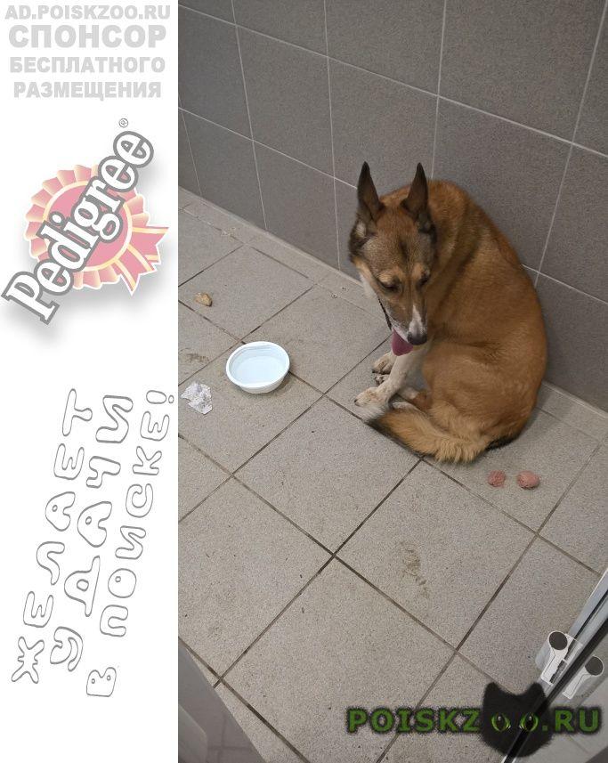Найдена собака рыжая г.Пермь