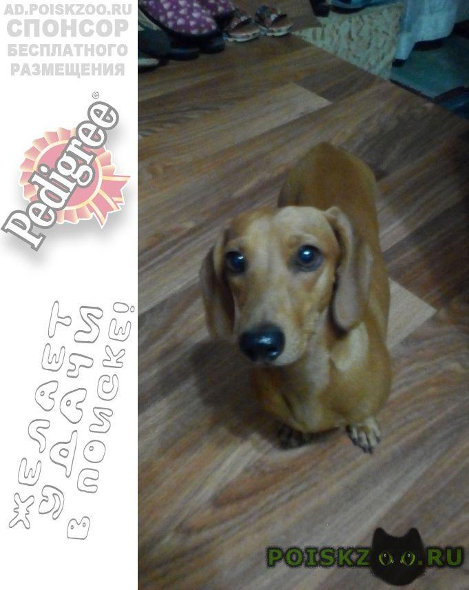 Найдена собака такса в райне чернакозова г.Шахты