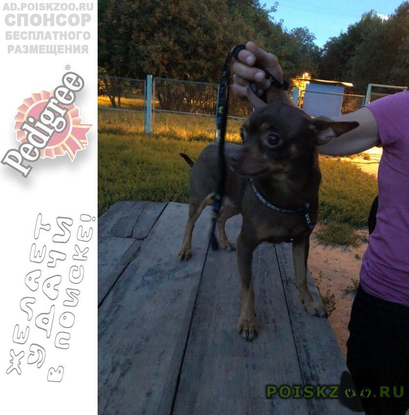 Найдена собака кобель тойтерьер на ул вильнюсская г.Москва