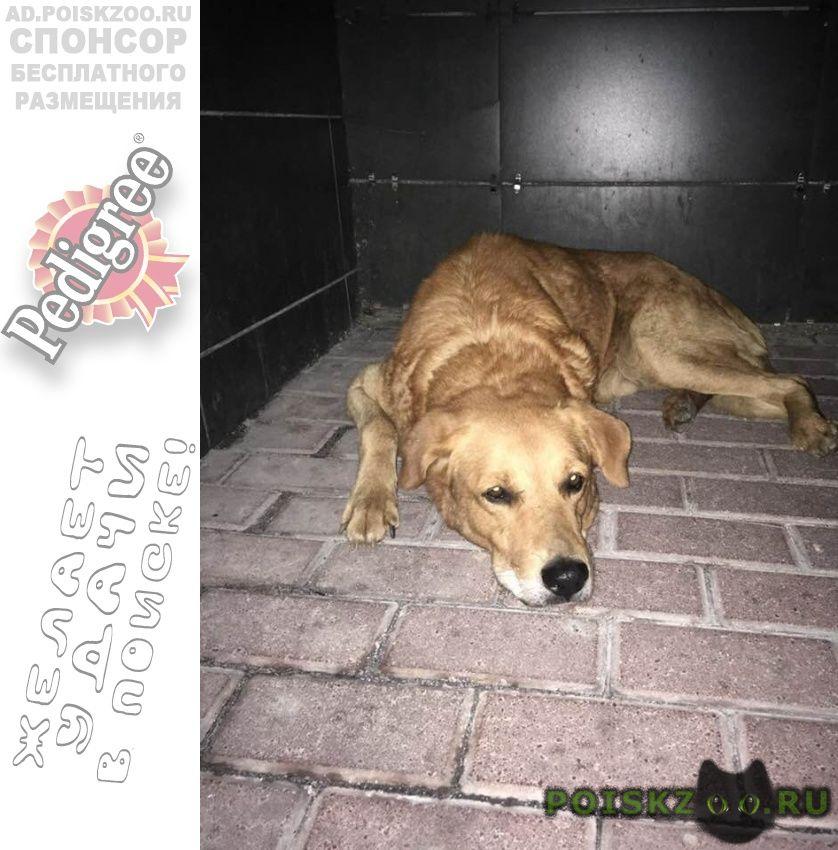 Найдена собака кобель палевого окраса в строгино г.Москва