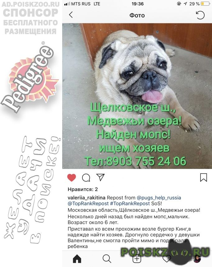 Найдена собака кобель мопс мальчик 6 лет г.Щелково