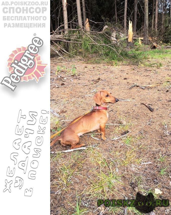 Найдена собака такса г.Апрелевка