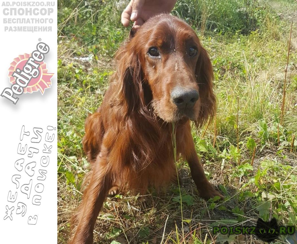 Найдена собака кобель ирландский сеттер г.Балашиха