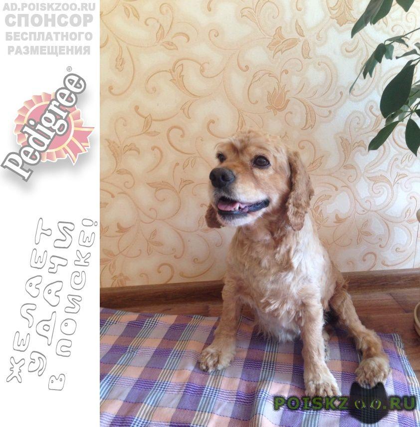 Найдена собака сука кокер спаниеля г.Севастополь