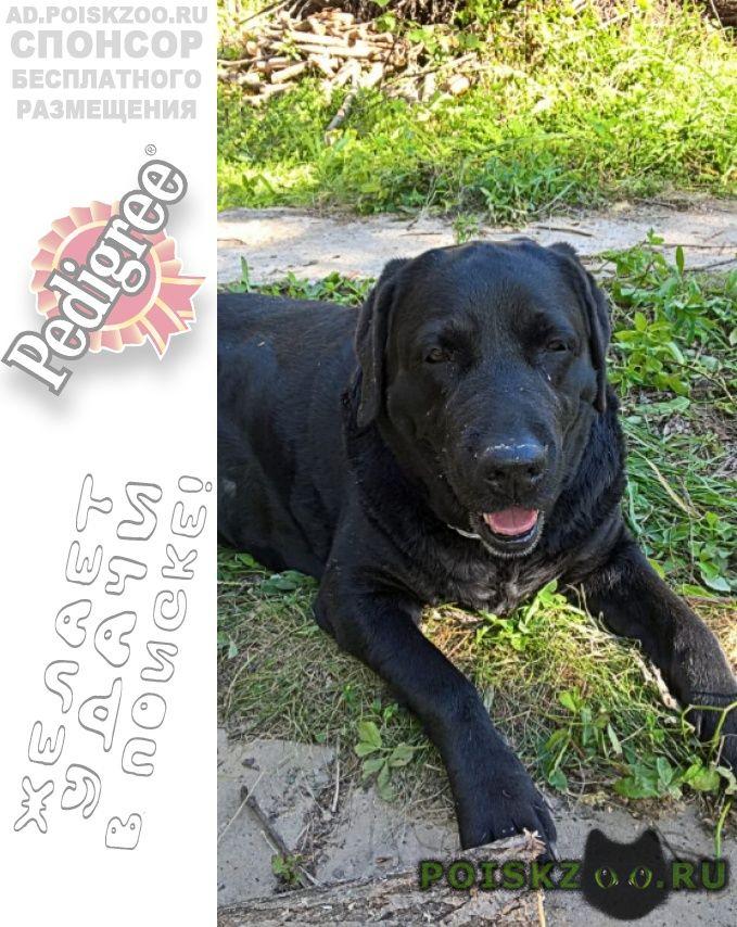 Найдена собака лабрадор г.Чехов