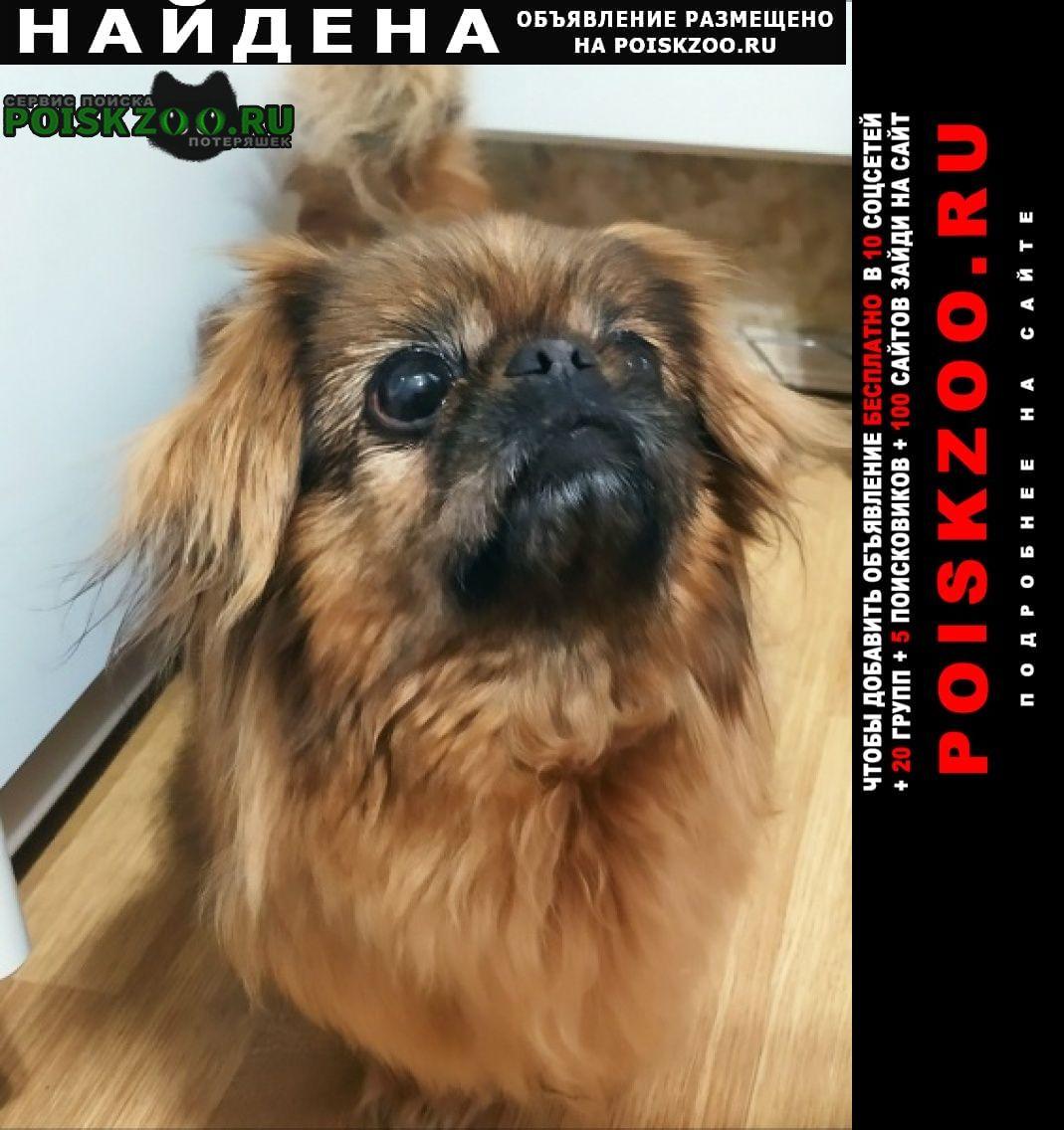 Найдена собака пекинес девочка Ленинский