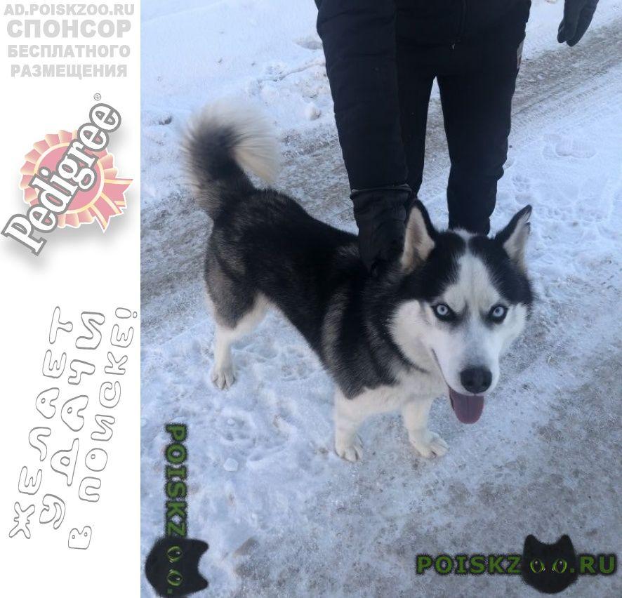 Найдена собака кобель сибирский хаски г.Москва