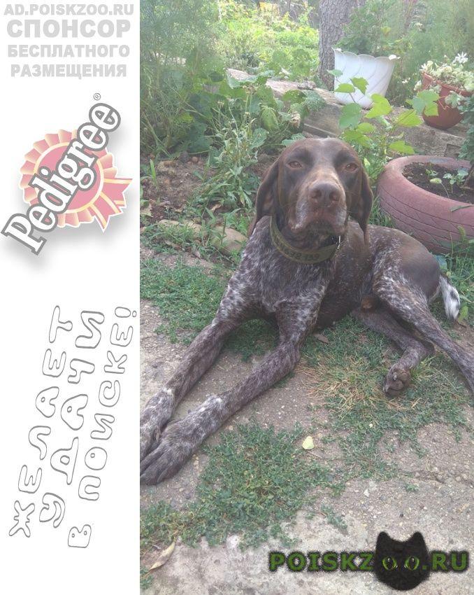 Найдена собака кобель курцхаара г.Краснодар