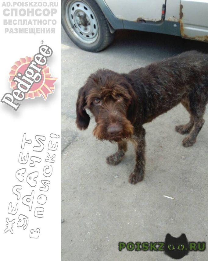 Найдена собака дратхаар г.Нижний Новгород