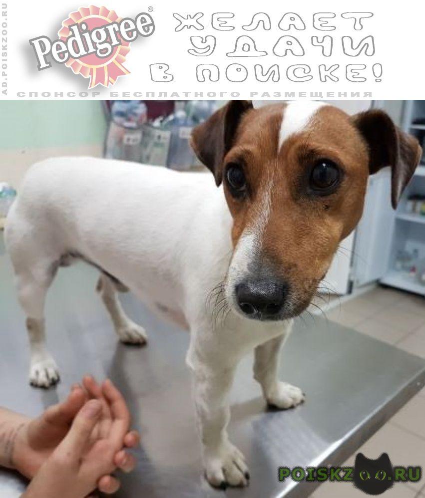 Найдена собака кобель джек-рассел, 3-5 лет г.Пушкино