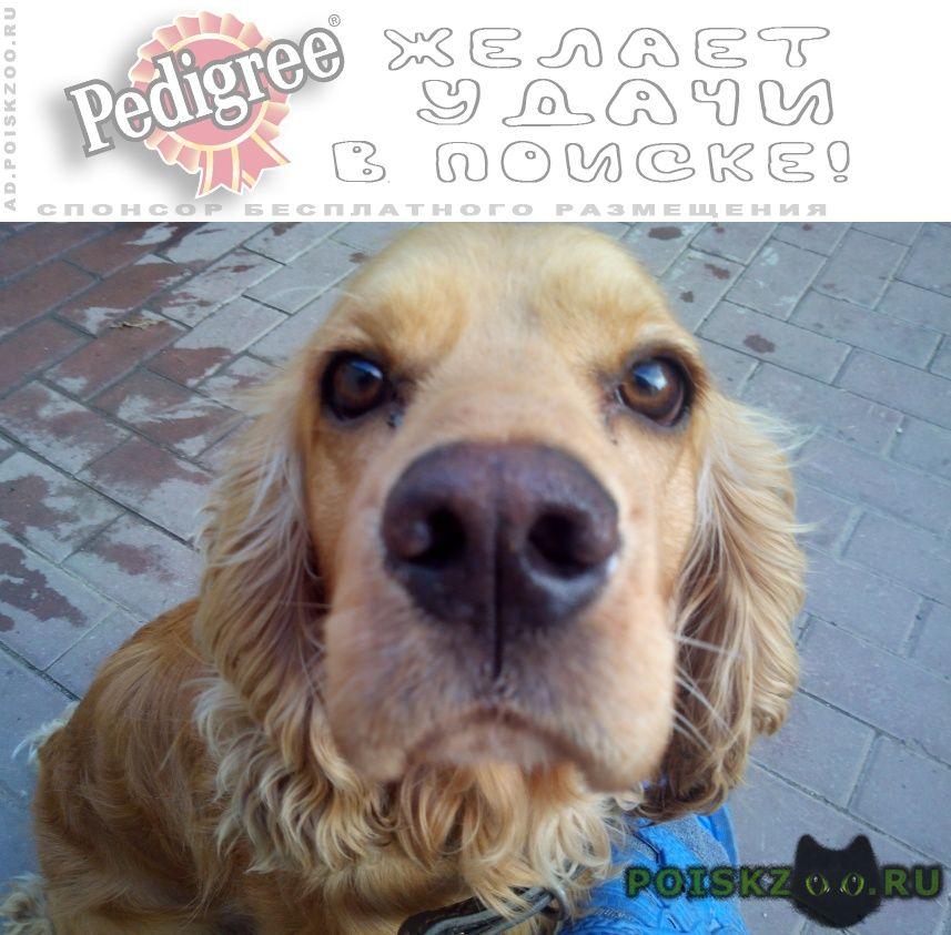 Найдена собака английский кокер спаниель г.Ставрополь