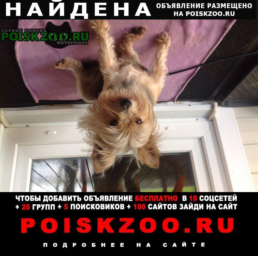 Найдена собака кобель йоркский терьер, упитанный Кокошкино