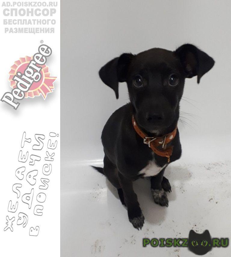 Найдена собака кобель в коричневом ошейнике г.Красноярск