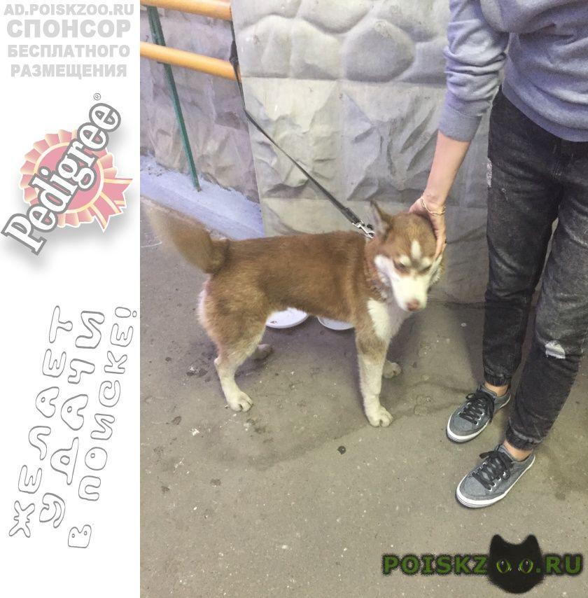 Найдена собака кобель хаски г.Люберцы