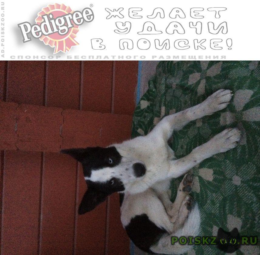 Найдена собака голубоглазая девочка г.Санкт-Петербург