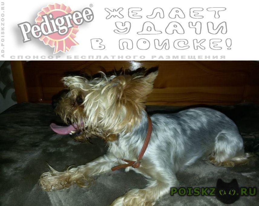 Найдена собака кобель йоркширский терьер. мальчик г.Волгодонск