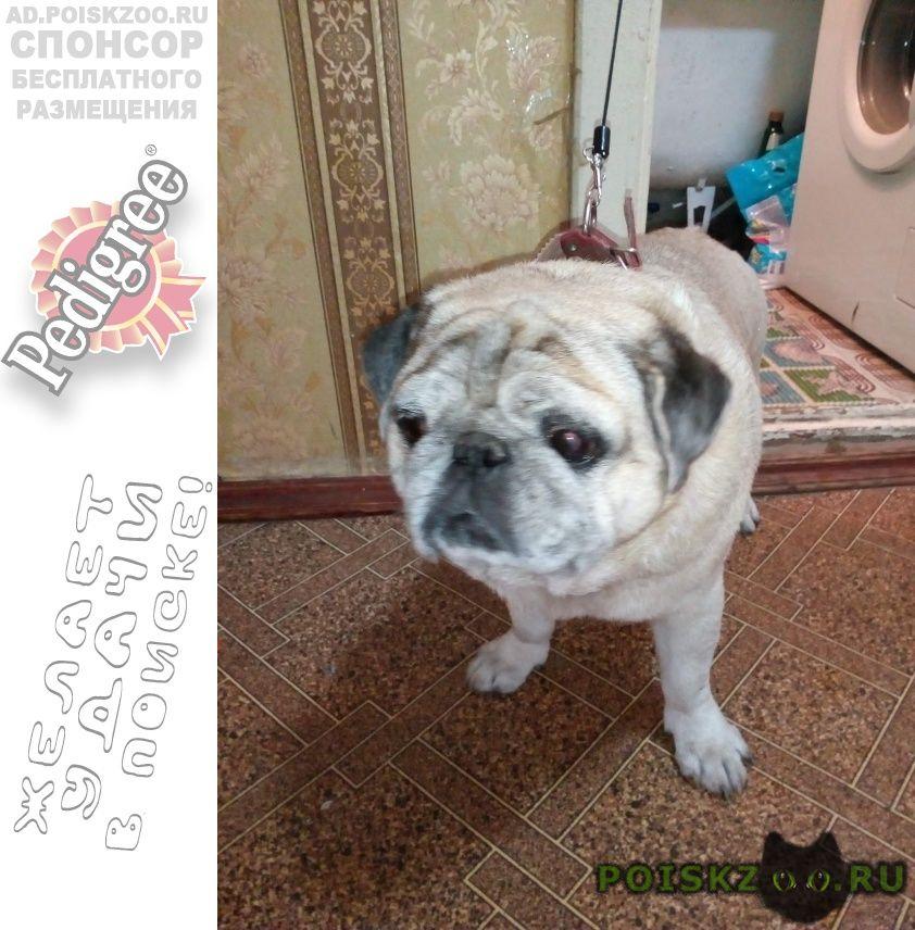Найдена собака нашли собаку мопс г.Великий Новгород (Новгород)