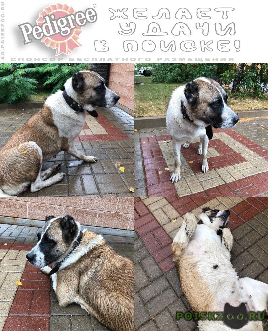 Найдена собака алабай, г.Курск