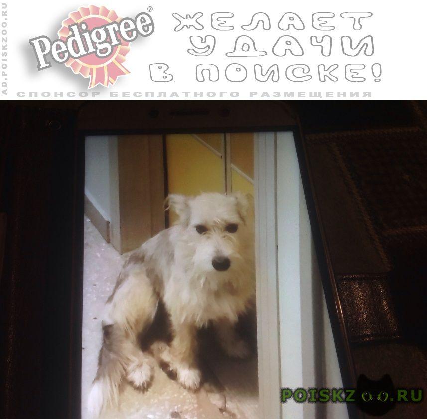 Найдена собака белая маленькая г.Лобня