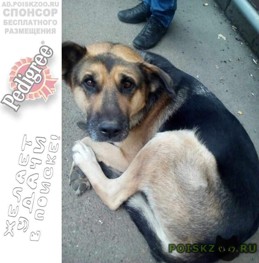 Найдена собака умная г.Красноярск