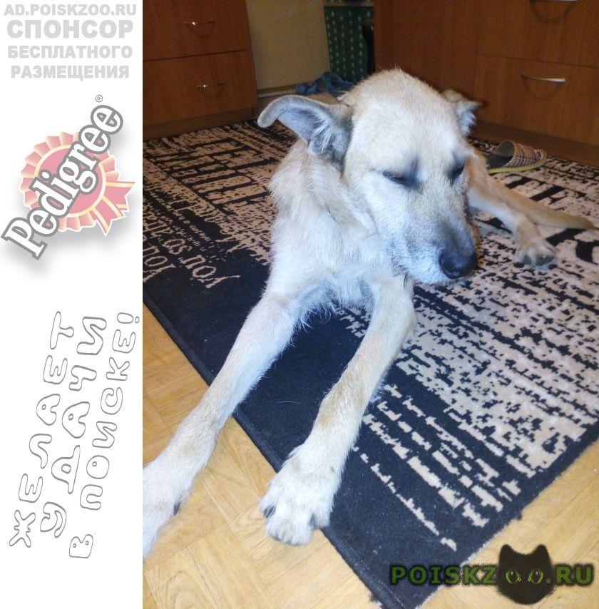 Найдена собака кобель рыжий г.Всеволожск