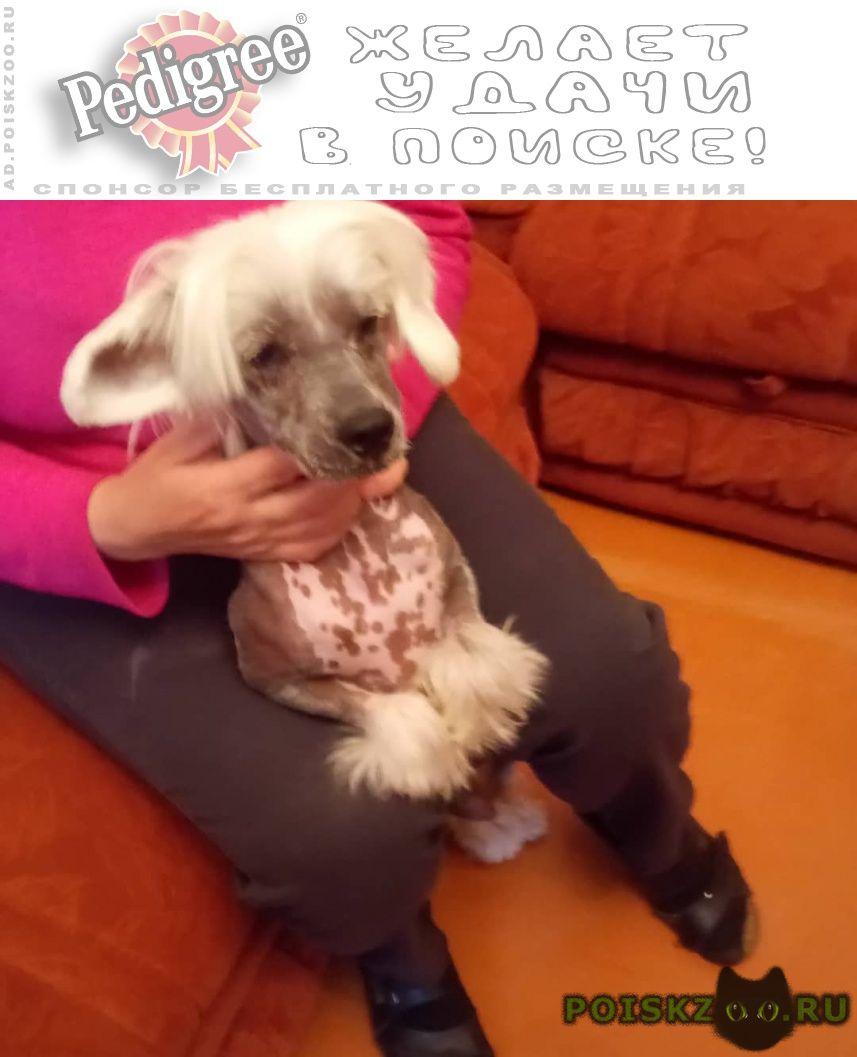 Найдена собака кобель китайская хохлатая г.Коломна