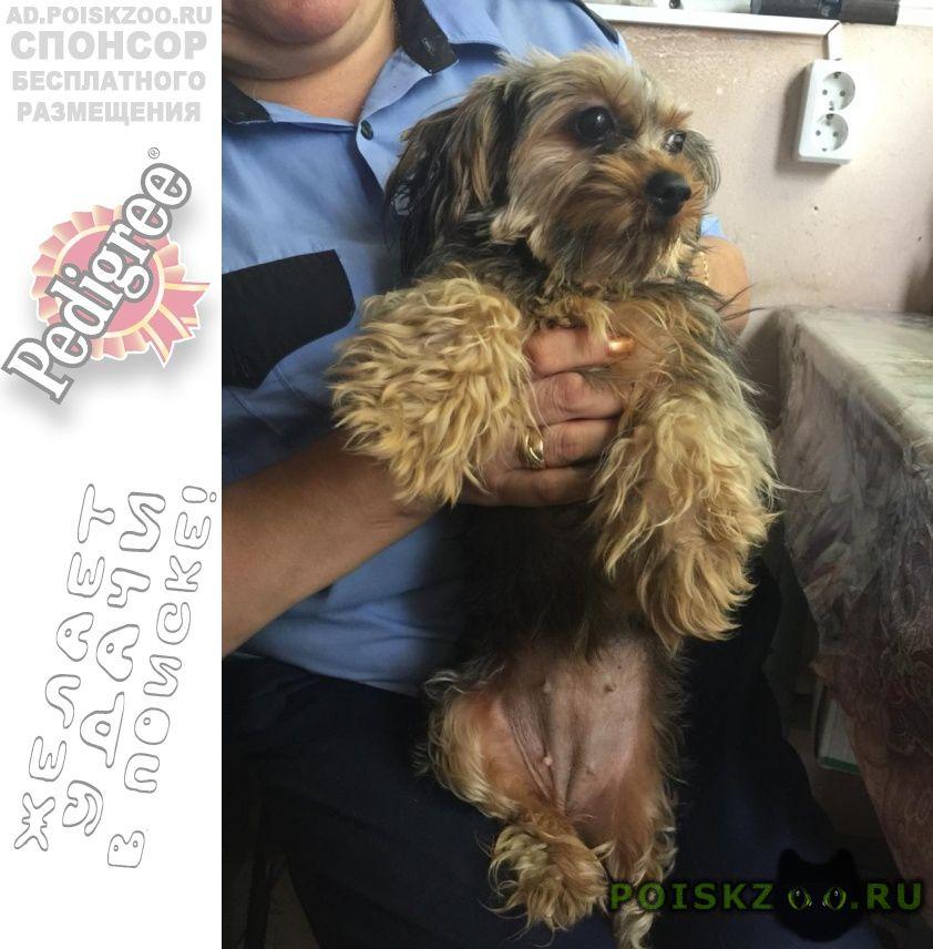 Найдена собака йоркширский терьер на станции ист г.Истра