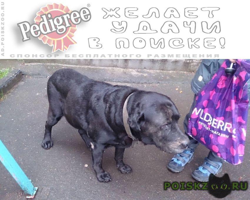 Найдена собака кобель лабрадор г.Москва