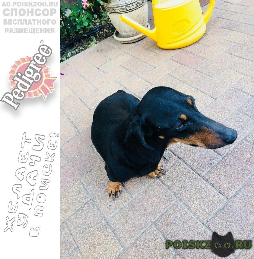 Найдена собака кобель такса- г.Ростов-на-Дону