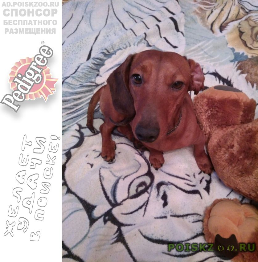 Найдена собака кобель такса г.Пермь