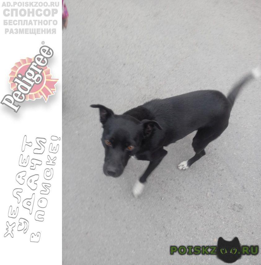 Найдена собака кобель ищет хозяйку (ина) г.Челябинск