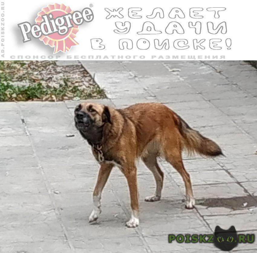 Найдена собака коричневый пёс на островского г. г.Пушкино