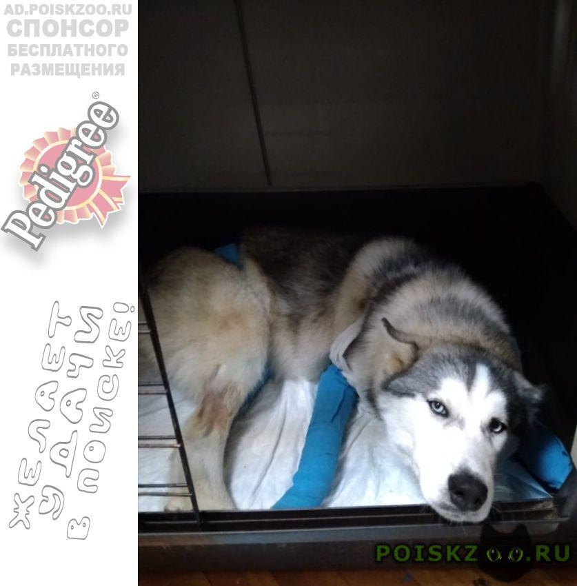 Найдена собака порода хаски г.Ярославль