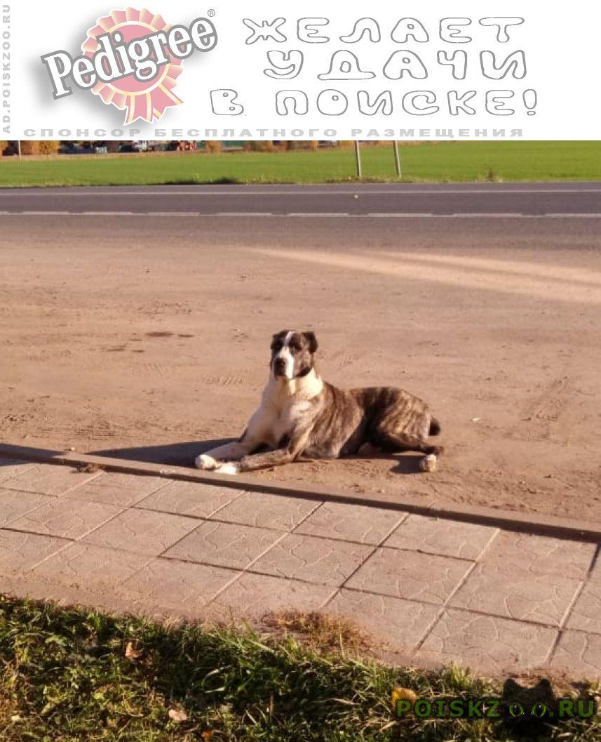 Найдена собака алабай, девочка . под ом г.Звенигород
