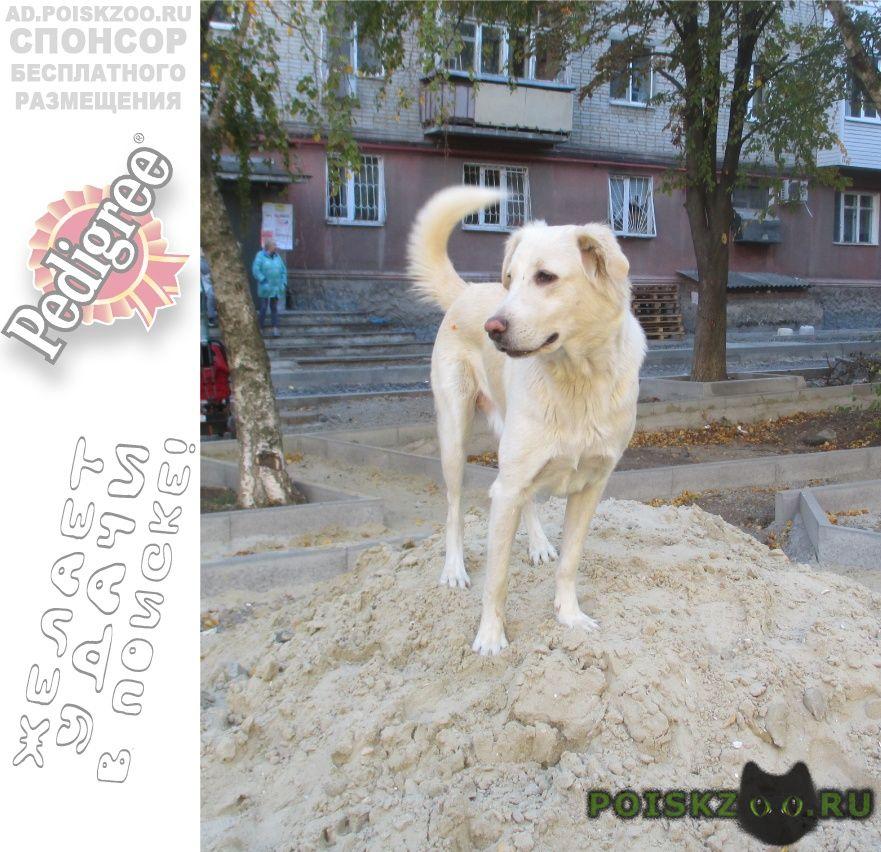 Найдена собака лабрадор г.Ростов-на-Дону