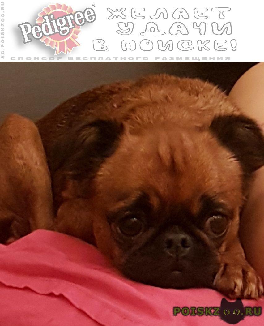Найдена собака пти-брабансон г.Ростов-на-Дону