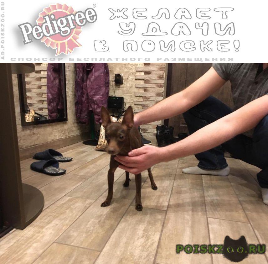 Найдена собака кобель той-терьер, коричневый, мальчик г.Верхняя Пышма