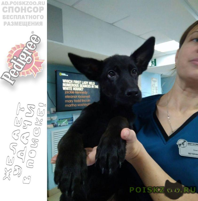 Найдена собака щенок немецкой овчарки, сука, чёрная г.Красноярск