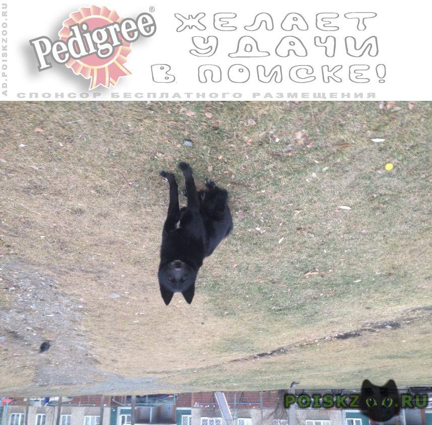 Найдена собака кобель черная лайка г.Челябинск