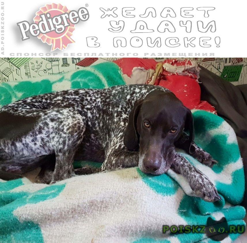 Найдена собака сука курцхаара г.Севастополь